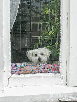 Old white poodle alone at home by Patricia Hofmeester