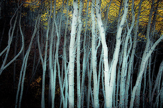 Olde World Aspens by The Forests Edge Photography - Diane Sandoval