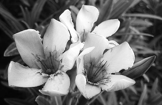 Oleander Blossoms  by Mary Ellen Frazee