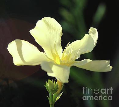 Oleander Marie Gambetta 1 by Wilhelm Hufnagl