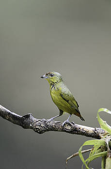 Olive-backed Euphonia by Thomas Chamberlin