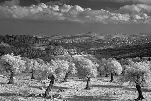Zoriy Fine - Olive grove on the outskirts of Jerusalem in the infrared