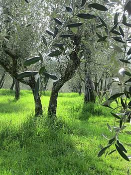 Olive Grove by Simi Berman