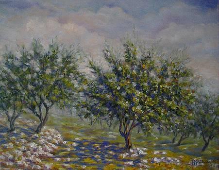 Olive Tree Field by Mirjana Gotovac