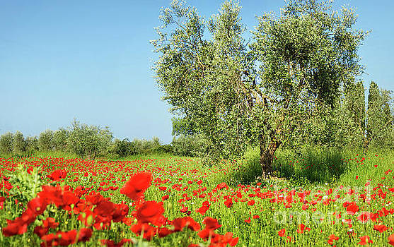 Olive tree in a poppy field by IPics Photography