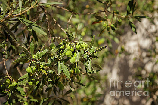 Olive tree orchard by Sophie McAulay