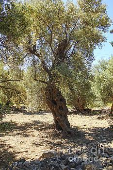 Patricia Hofmeester - Olive tree