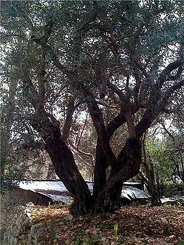 Olive Tree by Therese AbouNader