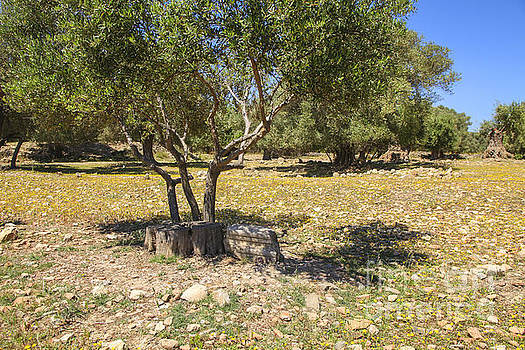 Patricia Hofmeester - Olive trees and old parts of ruins on a Greek olive grove