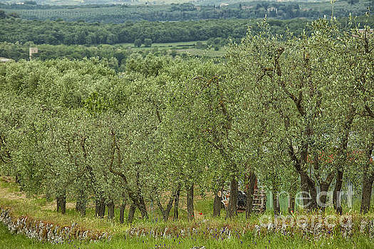 Patricia Hofmeester - Olive trees in Italy