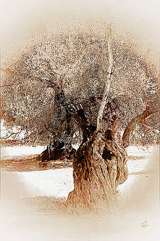Olive Trees by Music of the Heart