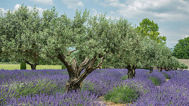 Olive Trees of Provence by Kent Sorensen