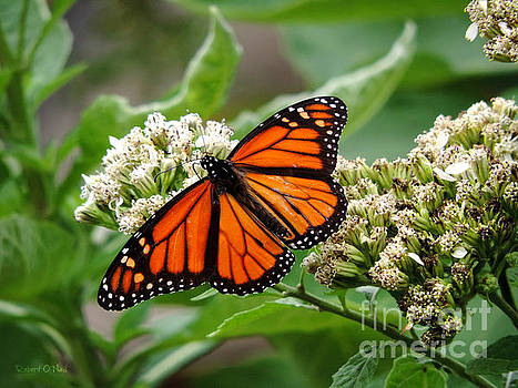 Once Upon A Butterfly 001 by Robert ONeil