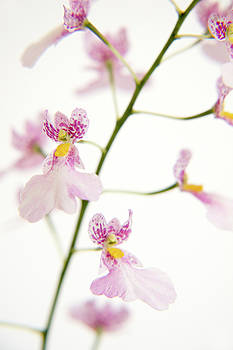 Oncidium Orchid Flowers by Julia Hiebaum