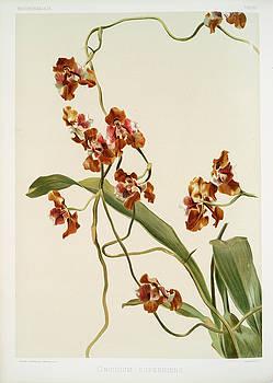 Ricky Barnard - Oncidium Superbiens