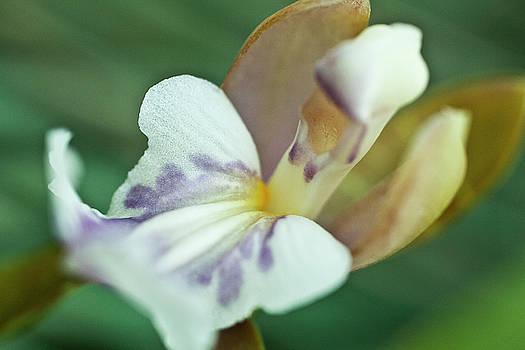 Heiko Koehrer-Wagner - Oncium phalaenopsis