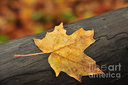 One Autumn Maple Leaf by Terri Gostola