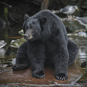 One Big Black Bear by John Rowe