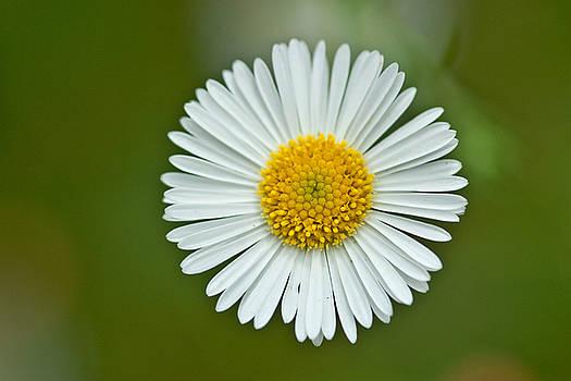 One daisy by Svetlana Ledneva-Schukina