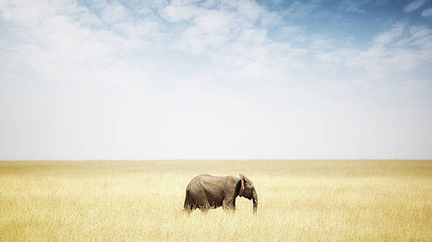 Susan Schmitz - One Elephant Walking in Grass in Africa