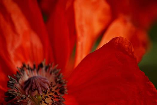 One Flower Show Poppy by William Rockwell
