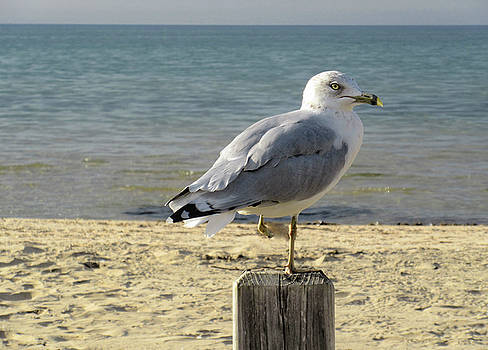One Footed Seagull by Maria Keady