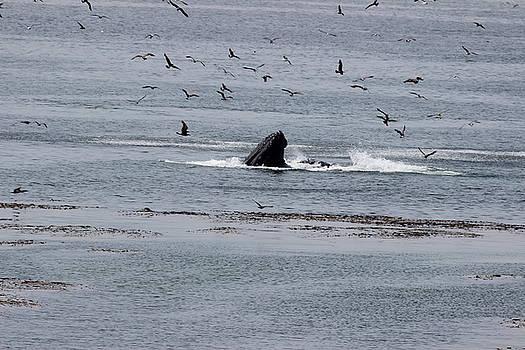 Gary Canant - One Humpback whale feeding