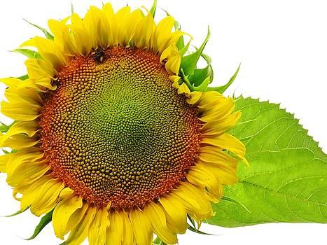 One Sunflower by Lori Frisch