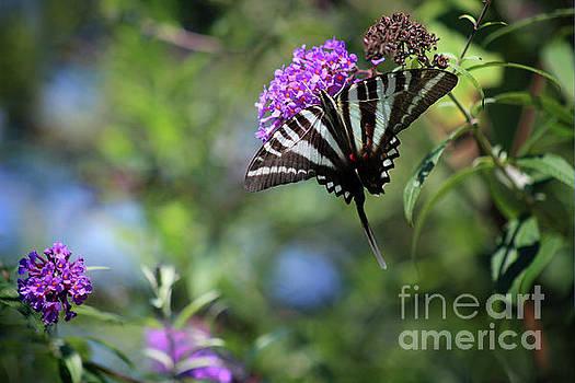 One Tailed Zebra Swallowtail Butterfly by Karen Adams