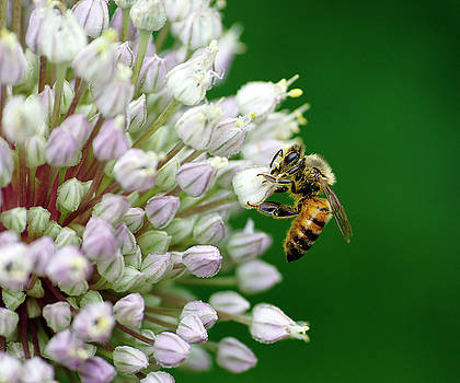 Onion Bee by Bill Morgenstern