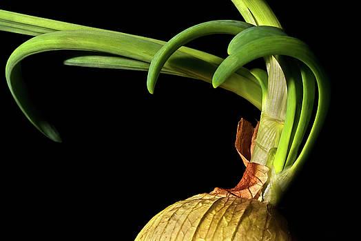 onyonet  photo studios - Onion Sprouting