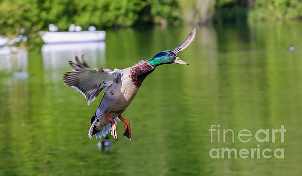 Oooo Ducky by Geoff Smith