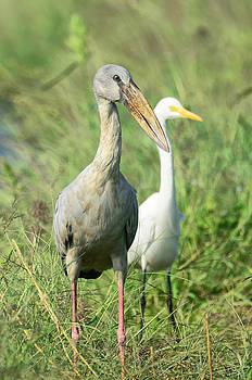 Open billed stork by Balram Panikkaserry