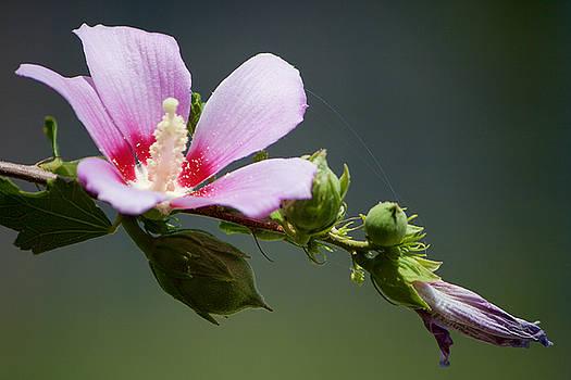 Open Pink Lady by Fedil