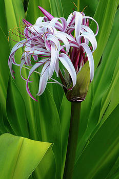 Reimar Gaertner - Opened Purple Crinum Lily flower in a tropical garden Costa Rica