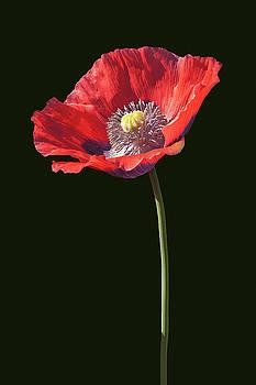 Opium poppy flower 02 by Nick Kurzenko
