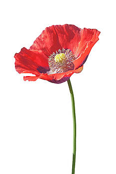 Opium poppy flower 03 by Nick Kurzenko