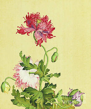 Opium Poppy Flowers and Buds. by Giuseppe Gastiglione