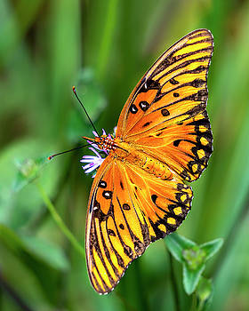 Orange and Black Butterfly by Charles LeRette