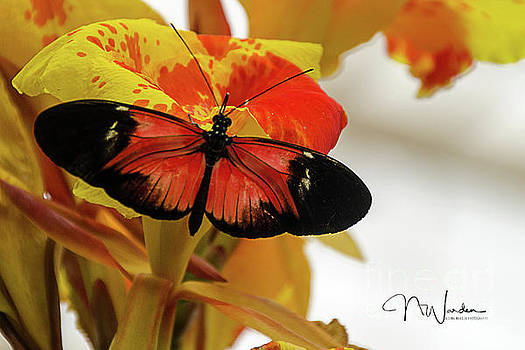 Orange and Black Butterfly by Norma Warden