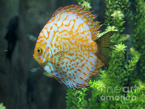 Orange and Blue Discus fish by Louise Heusinkveld