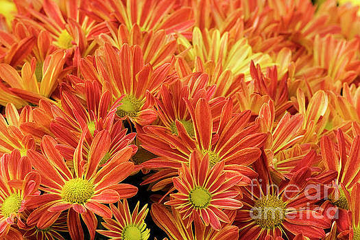 Orange and Gold Mums by Jill Lang