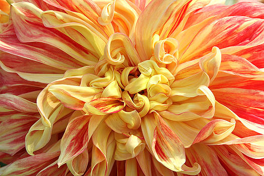 Orange and Yellow Dahlia by Denice Breaux