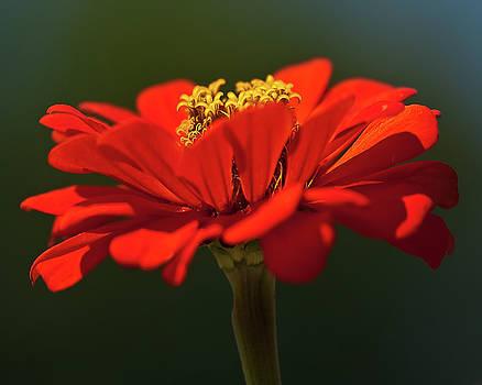 onyonet  photo studios - Orange Aster-A Bee