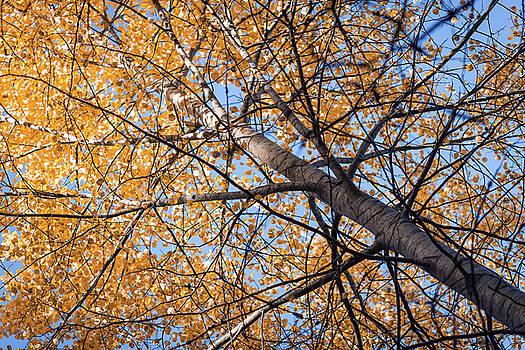 Orange autumn tree. by Teemu Tretjakov