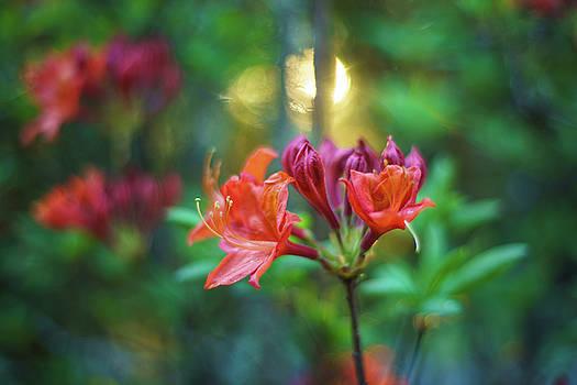 Mike Reid - Orange Azaleas Sunspot