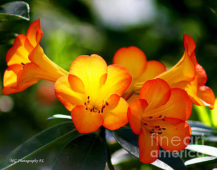 Orange Bells  by Marty Gayler