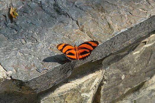 Orange Black Striped Butterfly  by Nicki Bennett