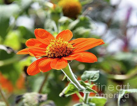 Orange Blossom Special by Wanda-Lynn Searles