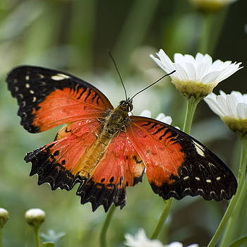 Orange Butterfly on a Daisy by Pixie Copley